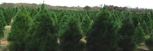 - Texas Christmas Tree Growers Association Membership